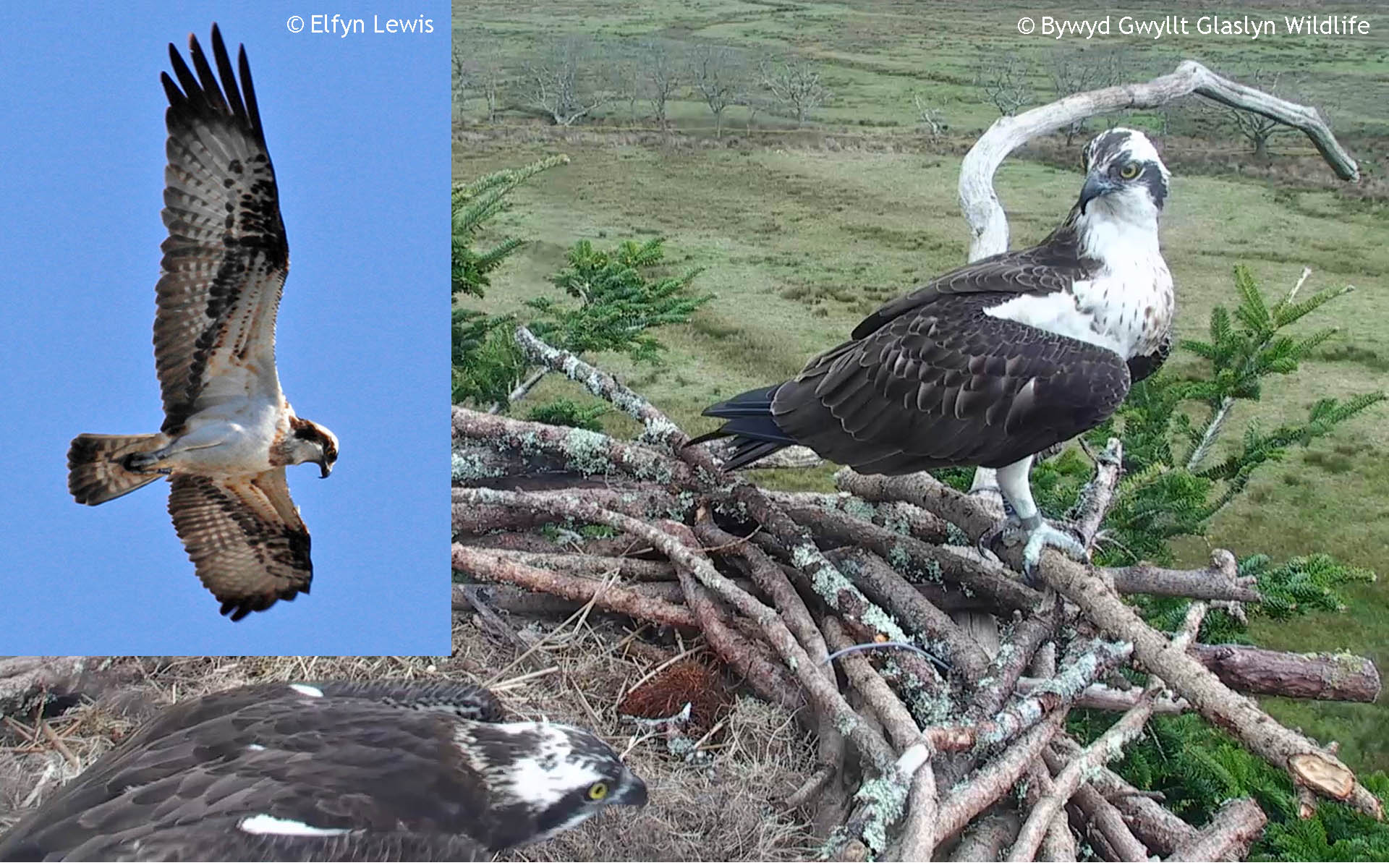 The male Osprey CU2 Jimmy when alive