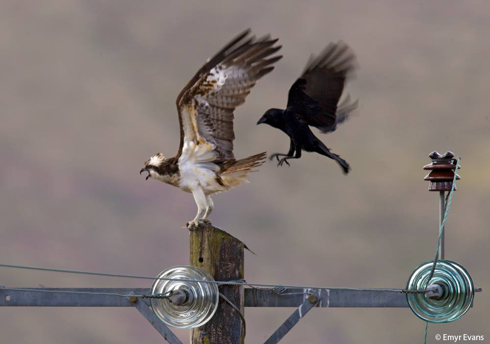 Dyfi Osprey Project's male Osprey Monty with a fish on his favourite power pole perch