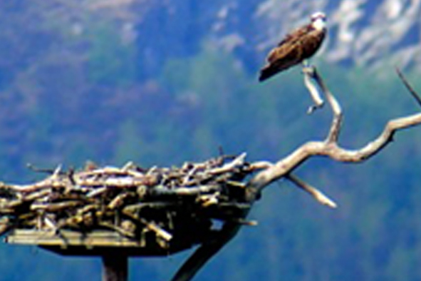 Artificial Osprey Pole Nest designed by Friends of the Ospreys