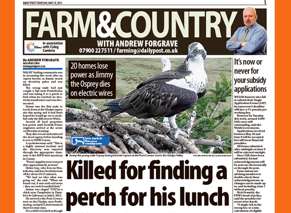 Crop from Daily Post Article - Rare Osprey Electrocuted