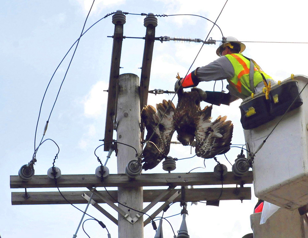 eagle has been electrocuted on a complex designed pole with short distances between the live wires