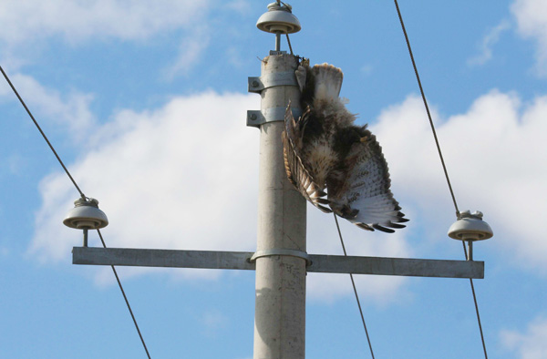 image of a bird-of prey hanging electrocuted off overhead live wites alongside a medium voltage power pole with a concrete conducting pole