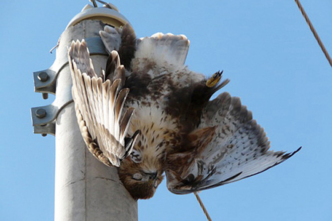 electrocuted Upland buzzard, 27 August 2010, Uulbayan, Suhbaatar province.