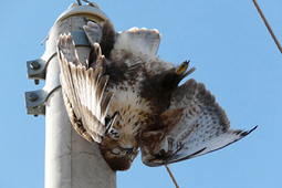 Image of a buzzard electrocuted
