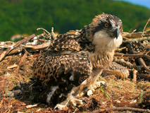 Friends of the Ospreys - a chick in a nest they have built