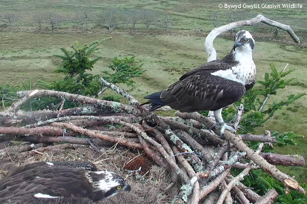 Jimmy pictured when he landed for the first time on the Glaslyn nest in Apiril 2015