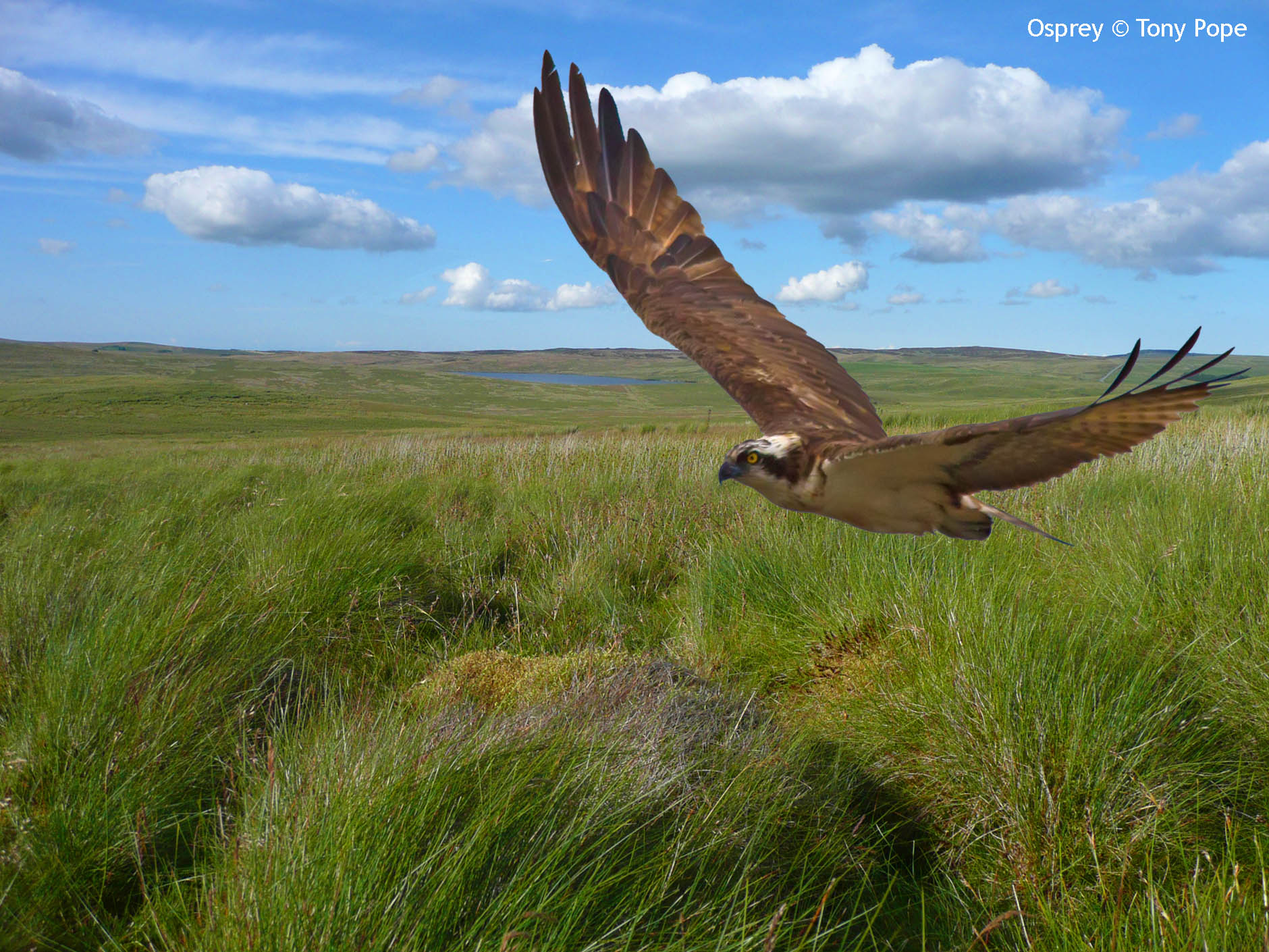 Osprey over Hiraeth moor