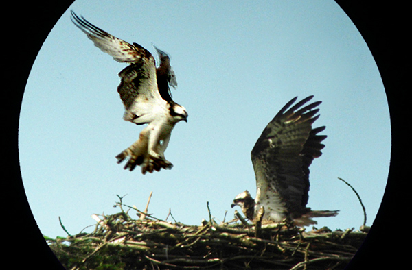 Ospreys on the nest seen through spotting scope