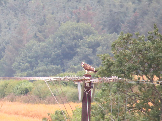 Juvenile perching on unprotected Power Pole