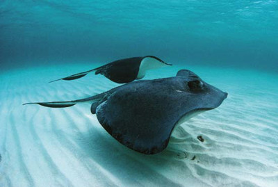 Two Stingrays swimming side by side in Pacific Waters