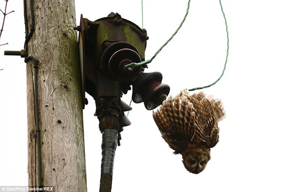 A tawny owl hanging from live wires below a power pole with transformer in Oxfordshire