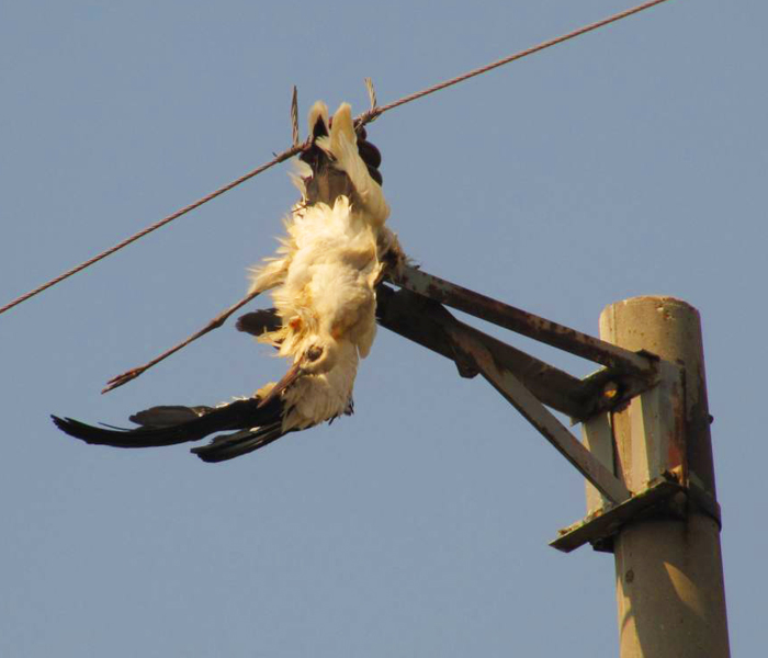 image of an electrocuted White Stork hanging from a power pole